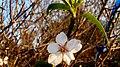 Almond Blossom, Fields of Givat Brenner, Shfelah , Israel פריחת השקד, שדות גבעת ברנר, שפלת יהודה - panoramio (3).jpg