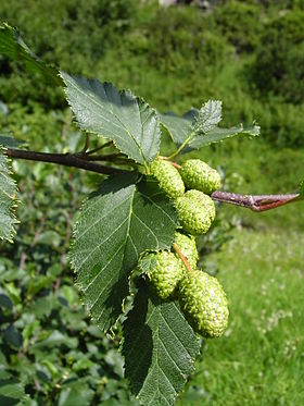 Alnus fruits.jpg
