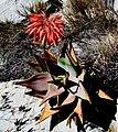 Aloe perfoliata (2).jpg