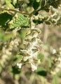 Aloysia wrightii 3.jpg