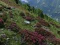 Alpenrosen Trafoier Tal.jpg