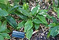 Alpinia formosana - Marie Selby Botanical Gardens - Sarasota, Florida - DSC01204.jpg