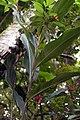Alpinia purpurata 34zz.jpg