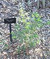 Alyxia ruscifolia - Jardín Botánico de Barcelona - Barcelona, Spain - DSC08932.JPG