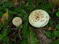 Amanita citrina 2010 G1.jpg