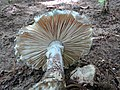 Amanita onusta - Flickr - treegrow (4).jpg