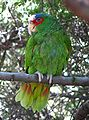 Amazona albifrons -in tree2-3c.jpg