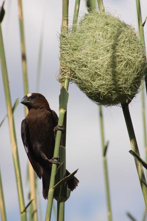 Amblyospiza albifrons -Pretoria, South Africa -male-8