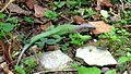 Ameiva ameiva (Linnaeus, 1758) (9132975845).jpg
