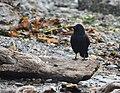 American Crow (30681110607).jpg