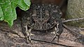 American Toad (Anaxyrus americanus) - Guelph, Ontario 02.jpg