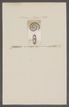 Ammonites interrupta - - Print - Iconographia Zoologica - Special Collections University of Amsterdam - UBAINV0274 091 01 0088.tif