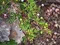 Ampelopsis japonica Winnik 2018-09-02 03.jpg