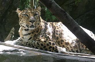Oregon Zoo - Amur leopard in the feline area