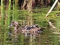 Anas sparsa African Black Duck IMG 9746.jpg