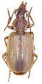 Anchista fenestrata fenestrata - ZooKeys-284-001-g001-6.jpeg