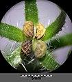 Anchusa arvensis subsp. orientalis sl27.jpg
