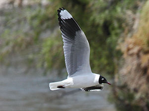 Andean gull - Breeding plumage, Peru