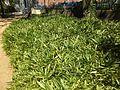 Anduze Cordeliers Bamboos 2871.JPG