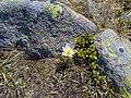 Anemone vernalis snofia sun plan de Corda Resciesa.jpg