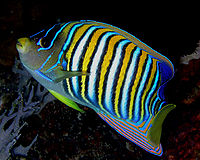 Angelfish Nick Hobgood