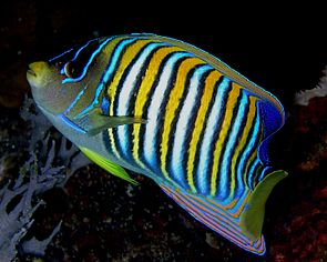 Angelfish Nick Hobgood.jpg