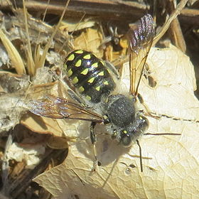 Anthidium maculosum1.jpg