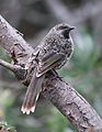 Anthochaera chrysoptera -Mornington Peninsula National Park, Victoria, Australia-8.jpg
