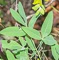 Anthyllis vulneraria ssp. rubriflora in Lozere (1).jpg
