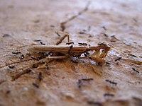 Ant (formicidae) social ethology
