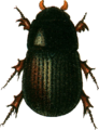 Aphodius brevis Jacobson.png