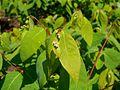 Apocynum androsaemifolium 2017-05-23 0646.jpg