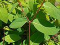 Apocynum androsaemifolium 2017-05-23 0651.jpg