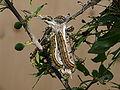 Aporia crataegi 09 (HS).JPG