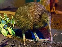 Apteryx mantelli -Rotorua, North Island, New Zealand-8a.jpg