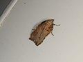 Arachnographa micrastrella (37519622490).jpg