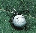 Araneus.amabilis.female.-.tanikawa.jpg
