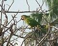 Aratinga pertinax -Estado Aragua -Venezuela-6.jpg
