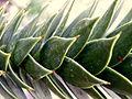 Araucaria araucana (5).JPG