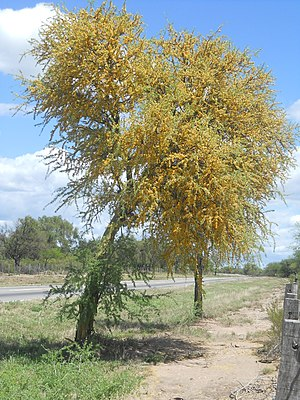 A Geoffroea decorticans tree is both a winter and drought deciduous tree. Arbolchanar.JPG
