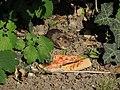 Arboretum Zürich - Hausmaus -fraglich- 2014-08-22 17-34-58 (P7800).JPG