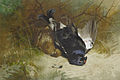 Archibald Thorburn Still life of a pair of Blackgame 1896.jpg