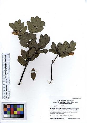 Arctostaphylos hooveri - Image: Arctostaphylos hooveri (5574642740)