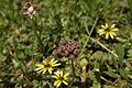 Arctotheca calendula fruit1 (11768059706).jpg