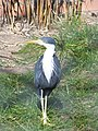 Ardea cinerea at Tierpark Berlin.jpg