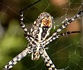 Argiope bruennichi. Araneidae (32059185754).jpg