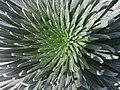 Argyroxiphium sandwicense subsp. macrocephalum (4737215344).jpg