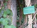Aristolochia gigantea in Jardin des Plantes 02.JPG