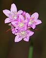 Armeria maritima - flowers.jpg