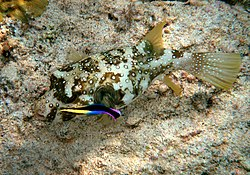 Arothron hispidus is being cleaned by Hawaiian cleaner wrasses, Labroides phthirophagus.jpg